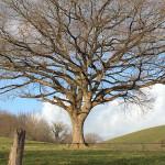 w-ARNAUD-arbre en hiver, entre Garris et St Palais
