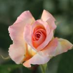 w-chantal-la vie en rose